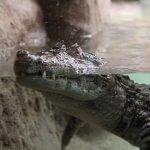 coccodrillo Zoo Barcellona