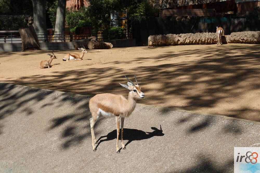 gazella Zoo Barcellona