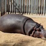 ippopotamo Zoo Barcellona