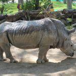 rinoceronte Zoo Barcellona